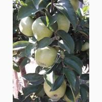 Предлагаем яблоки в больших обьемах