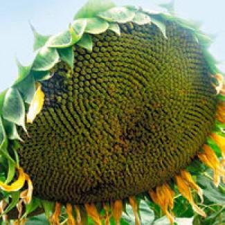 Насіння соняшника ЕС Саксон під гранстар