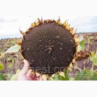 Семена подсолнечника П64ЛЕ99 Круиз, Pioneer