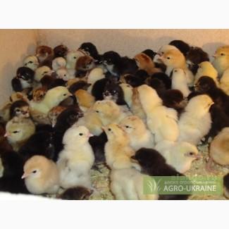 Реализуем суточных цыплят с домашнего инкубационного яйца