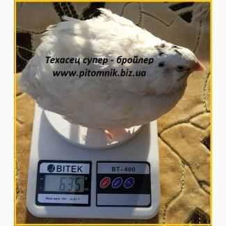 Яйца инкубационные Техасец белый - супер бройлер