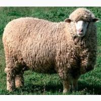 Закупка баранов быков коров