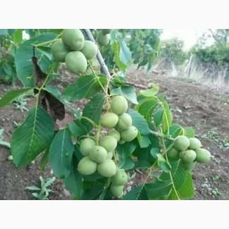 Саженцы грецкого ореха Иван Багряный на второй год уже дают плоды