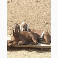 Продам чистопородных англо-нубийских коз и и чистопородных коз, породы Тюрингская лесная