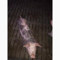 Хрячки и свинки – юниоры (живой вес 20-40 кг)