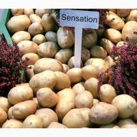 Картофель семенной Саншайн 1Р. 20 кг