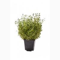 Зелень и пряные травы от производителя оптом и под заказ