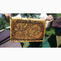 Бджолопакети, пчелопакети, бджолосім'ї Карпатка