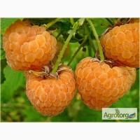 Саженцы малины ремонтантной Утренняя роса (желтая)