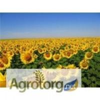 Семена подсолнечника Рембо - ВНИС (гранстароустойчивый)