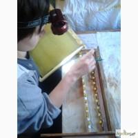 Пчеломатки карника плодные и не плодные