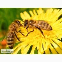 Продам пчелосемьи, Пчелы