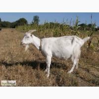 Терміново продам кози породи Ламанча