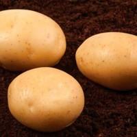Продам семенной картофель второй репродукции 6, 10 грн