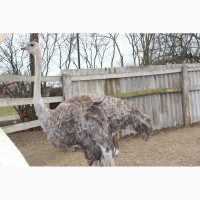 Продам самку африканського страуса або обмін на самця