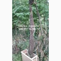 Продам безстільникові бджолопакети карпатских пчел