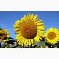 Продам семена подсолнуха Пиоенр ПР64ЛЕ25 под гербицид Гранстар