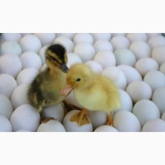 Приобрести инкубационные яйца уток Мулард