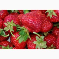 Продам полуниці на експорт