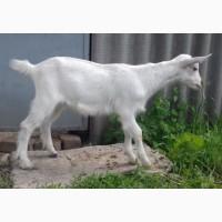 Продам 100% зааненского козла (козел)