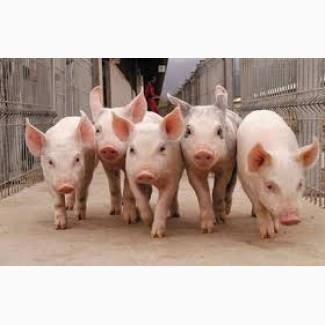 Поросята, свинки та кнури