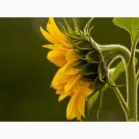 Продам семена подсолнечника под евролайтинг Лимит, экстра фракция, 110-115 дней