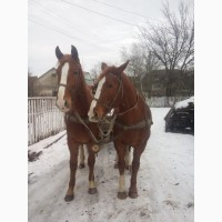 Продаю пару коней