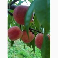 Продам персики, плоди персика, персик