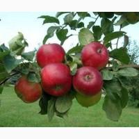 Саженцы яблони, саджанці яблуні