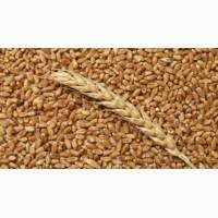 Продам пшеницу III класс органическую