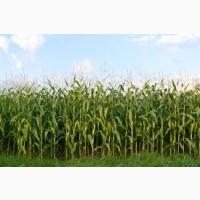 Гибрид Рубикон ФАО 280 семена кукурузы