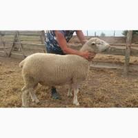 Овцы. Бараны. Ферма. Стадо овец, баранов