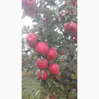 Продам яблоки из своего сада, без парши и градобоя. Цена договорная
