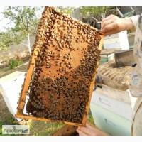 Пчёлопакеты бджолопакети карника карпатка бакфаст Украинская (доставка в другие города)