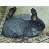 Кролики-акселерати білий панон