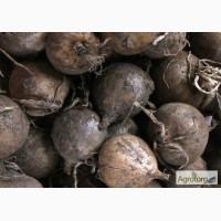 Озимий чеснок заказы на семена чеснока урожая 2018 год