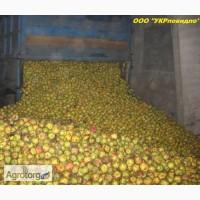 Куплю яблоки оптом на переработку