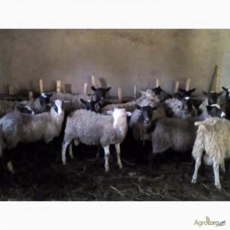 Продам баранов чистой романовской породы