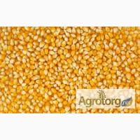 Продам кукурузу, в количестве 200 тонн, Киевская обл.Влажность 14.%.сор 1.7.зерновая 8
