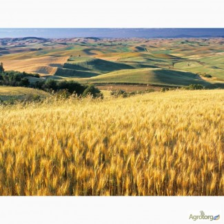 Закупка пшеницы нового Урожая
