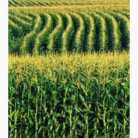 Купим кукурузу оптом