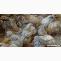 Инкубационные яйца бройлера и мясо-яичных пород курей