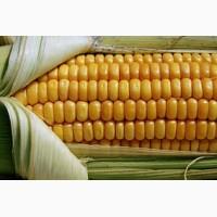 Кукуруза Фруктис ФАО 330 - неприхотливый гибрид для стабильных урожаев