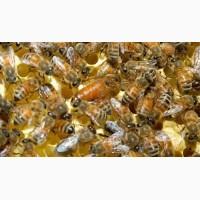 Неплодные пчеломатки, неплодки, пчелиные матки