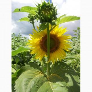 Семена подсолнечника Командор, 103-110 дней (7 расс заразихи)