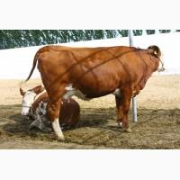 Закуповуємо вибраковку корів на забій