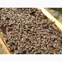 Продам пчело-пакеты