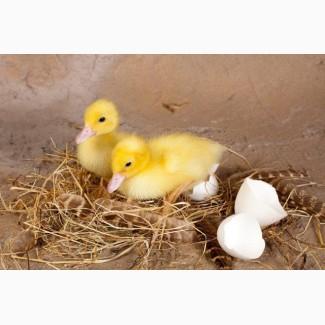 Яйцо Мулард Украина. Купить инкубационное яйцо