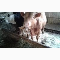 Терміново продаються корови, телиця і бики