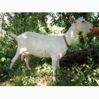Продам 100% зааненскую дойную козу